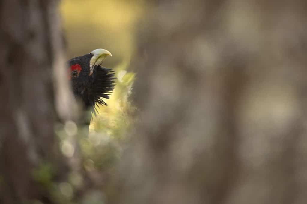 Capercaillie, Tetrao urogallus, close-up of male in pine forest, Cairngorms National Park, Scotland