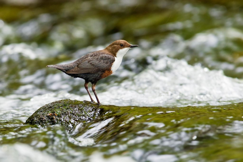 Dipper perched on rock in fast flowing river